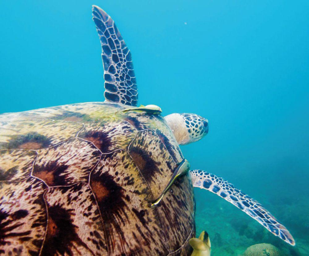 Green turtle - Foto: Qian - Shutterstock.com